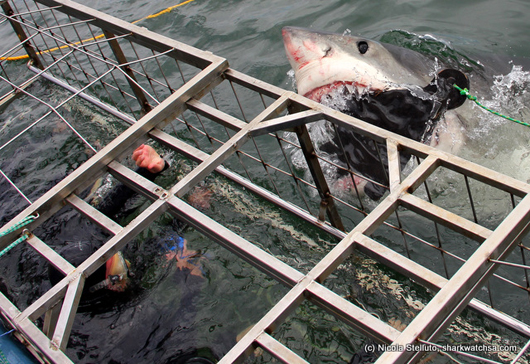 spectators get close up of great white action