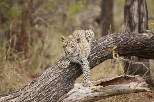Leopard | South Africa | South African Safari | Luxury African Safari | Ker Downey