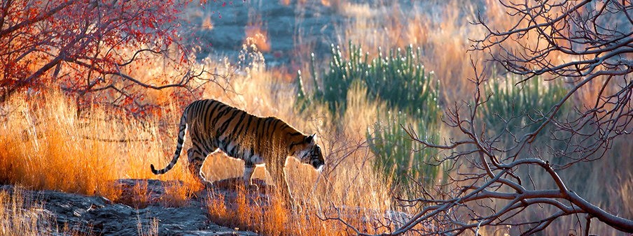 Royal India Tiger Safari | Luxury Safari | Ker Downey