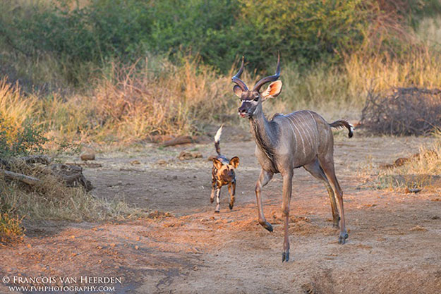 African Wild Dog | Mateya Safari Lodge, Madikwe Game Reserve | Luxury South Africa Safari | Ker Downey