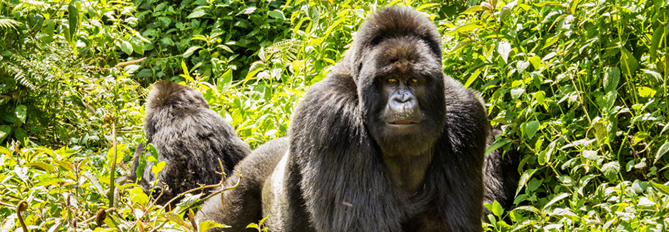 Virunga Lodge | Virunga Volcanoes | Rwanda Gorilla Trek