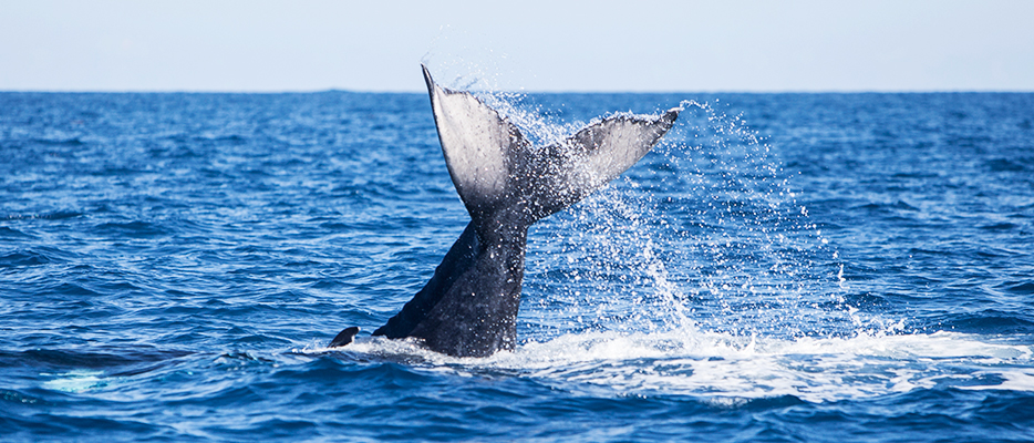 Tonga | Humpback Whales | Luxury South Pacific | Ker Downey