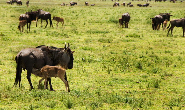 2016 Top Travel Destinations | Luxury Travel | Calving Season in the Serengeti, Tanzania | Ker Downey
