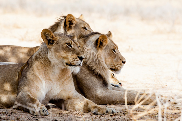 World Lion Day - Luxury African Safari - Ker Downey