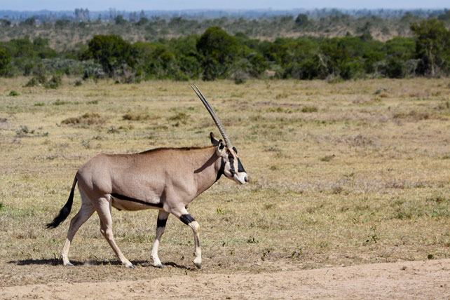 Samburu Special Five - Beisa Oryx - Luxury Kenya Safari - Ker Downey