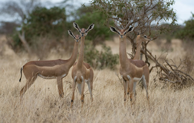 Samburu Special Five - Gerenuk - Luxury Kenya Safari - Ker Downey