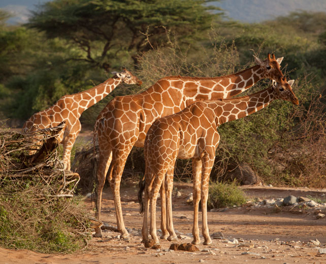 Samburu Special Five - Reticulated Giraffe - Luxury Kenya Safari - Ker Downey