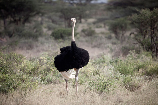 Samburu Special Five - Somali Ostrich - Luxury Kenya Safari - Ker Downey