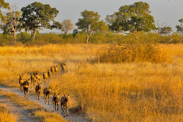 Places to See African Wild Dog on Safari - Luxury Africa Safaris by Ker & Downey