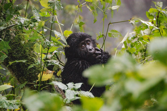Luxury Gorilla Safari - Rwanda Luxury Safari - Ker Downey