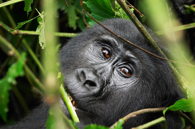 Luxury Gorilla Safari - Uganda Luxury Safari - Ker Downey