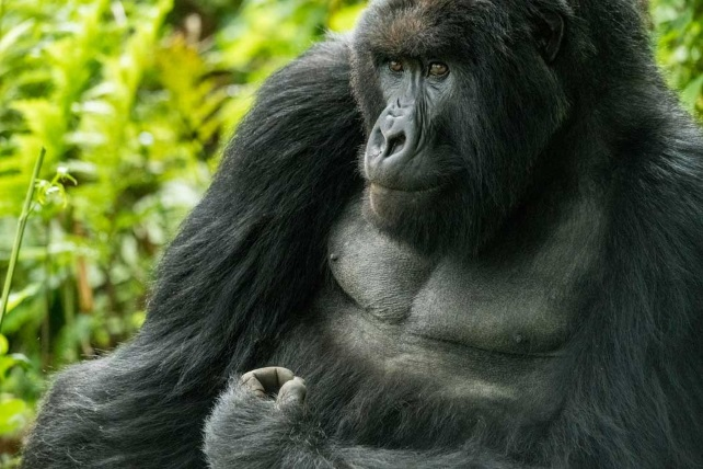 Rwanda Trekking in Photographs - Gorilla Safaris - Ker & Downey
