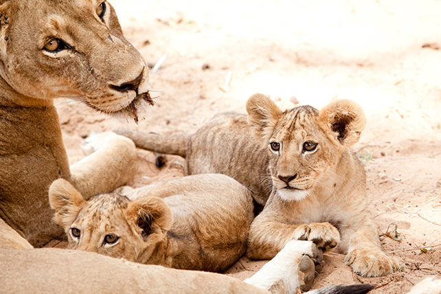 Lions in Samburu National Reserve - Kenya Honeymoon - Safari Honeymoon in Kenya - Ker & Downey