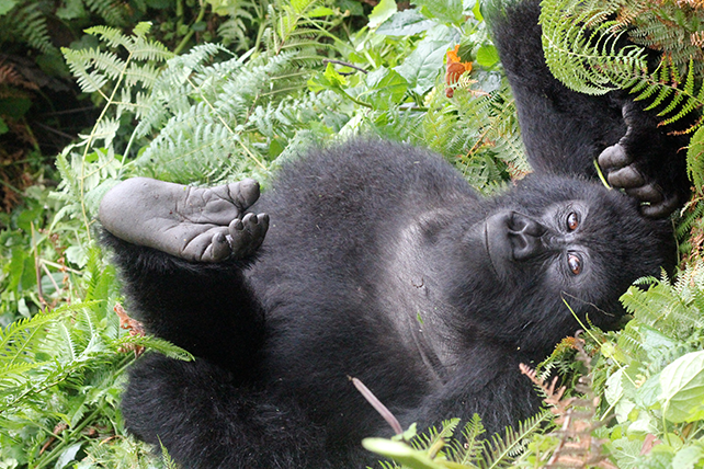 Rwanda's Mountain Gorillas in the Mist