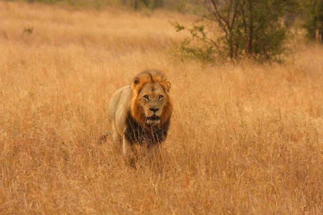 Top 5 African Safari Experiences - Big Five - South Africa - Ker & Downey - Lion
