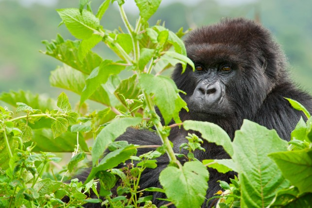 Top 5 African Safari Experiences - Rwanda - Ker & Downey - Gorilla Trek