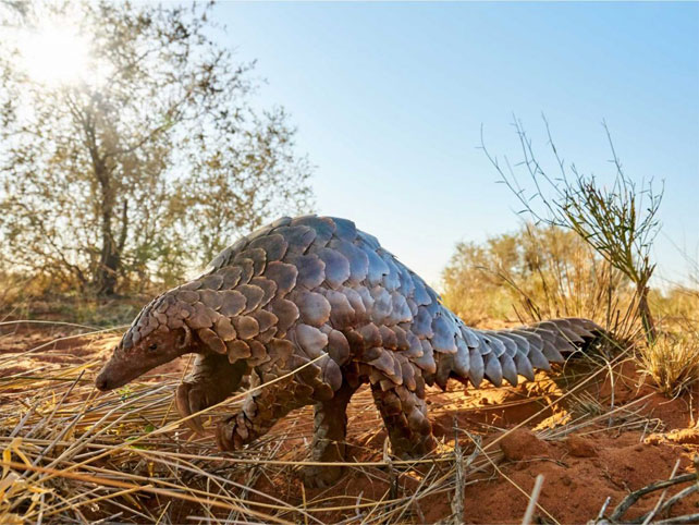 The Pangolin: What It Is and Where to Find It