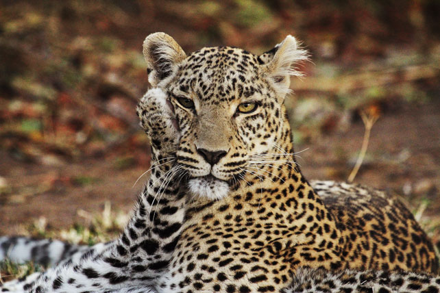 leopar and cub - african safari photos - ker & downey