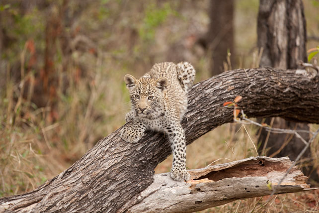 Leopard on a trunk - South Africa - Ker & Downey