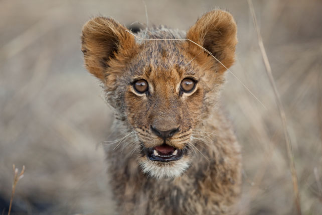 lion cub - south africa - ker & downey