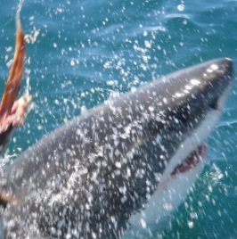 Shark expedition at Grootbos